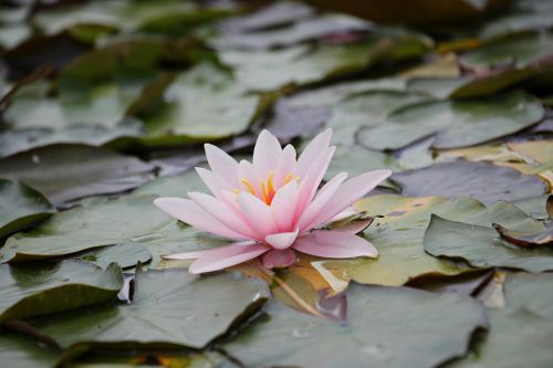 water lily pink aquatic plant