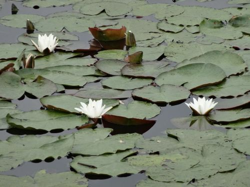 water lily lily water plant