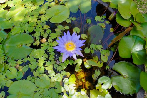 water lily lily pond lily pad