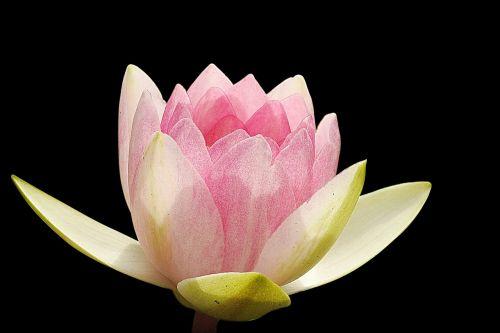 water lily nuphar lutea aquatic plant