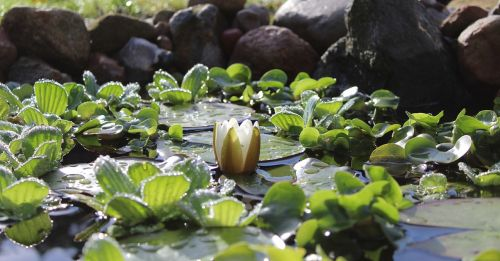 water lily nuphar lutea white