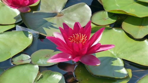 water lily blossom bloom