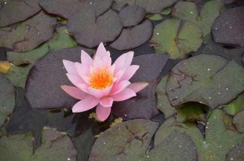 water lily pink orange