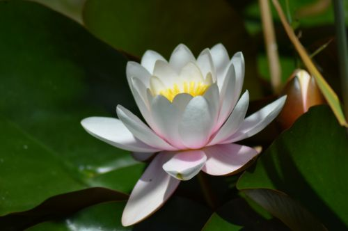water lily flower aquatic plant