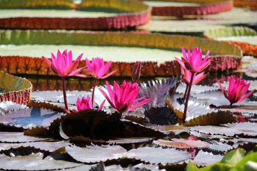 water lily pond aquatic plant