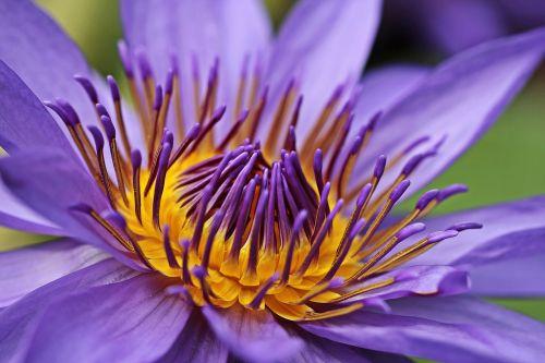 vandens lelija,nuphar lutea,vandens augalas,žiedas,žydėti,tvenkinys,sodo tvenkinys,rosengewächs ežeras,žydėti,gamta,tvenkinio augalas,vanduo,gėlė,Uždaryti,augalas,violetinė,purpurinė lelija,violetinė teichrose,purpurinė gėlė,violetinė,purpurinė vandens lelija,raudonos tvenkinio rožės,nymphaea,vandens gėlė,tvenkinio gėlė