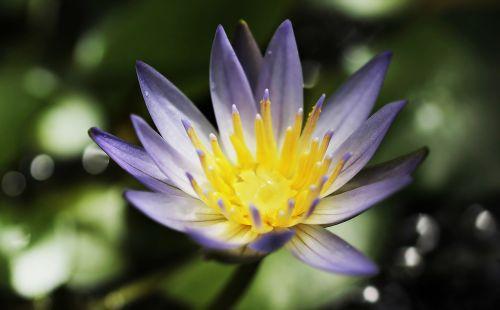 vandens lelija,nuphar lutea,vandens augalas,žiedas,žydėti,tvenkinys,sodo tvenkinys,rosengewächs ežeras,žydėti,gamta,tvenkinio augalas,vanduo,gėlė,Uždaryti,augalas,violetinė,purpurinė lelija,violetinė teichrose,purpurinė gėlė,violetinė,purpurinė vandens lelija,raudonos tvenkinio rožės,nymphaea,vandens gėlė,tvenkinio gėlė,mažas,mini,maža vandens lelija