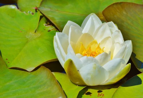 water lily rose flower