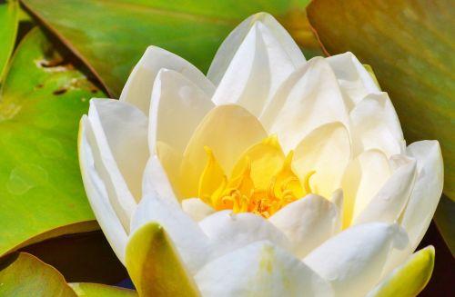 vandens lelija,rožė,gėlė,vanduo pakilo,nuphar lutea,tvenkinio augalas,rosengewächs ežeras,liilio tvenkinys,tvenkinys,sodo tvenkinys,gamta,augalas,žydėti