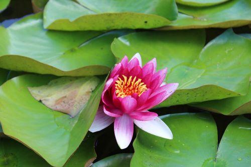 vandens lelija,ežeras,tvenkinys,gamta,vandens augalas,violetinė,gėlė,flora