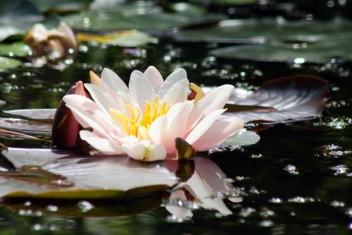 water lily pink pond plant