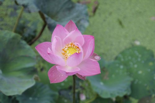 water lily rose blossom
