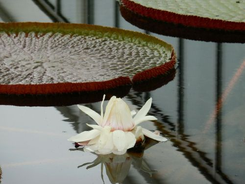 water lily reflection leaves