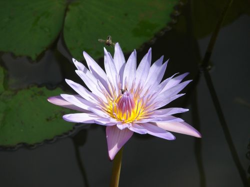 vandens lelija,gėlė,bičių,maitinimas,tvenkinys,gamta,vandens,Mare,žiedadulkės,apdulkinimas