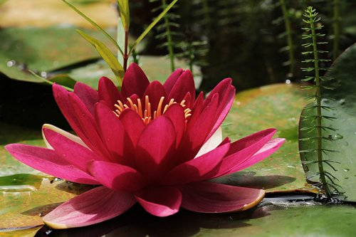 water lily  red  pond