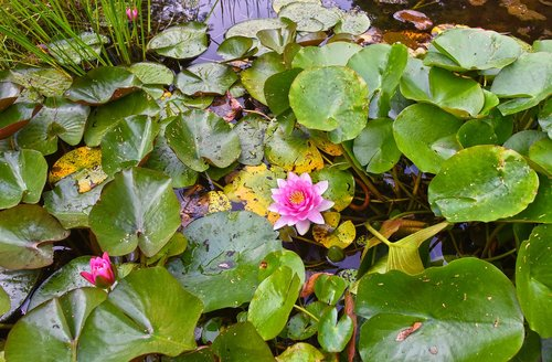water lily  aquatic herb  plant