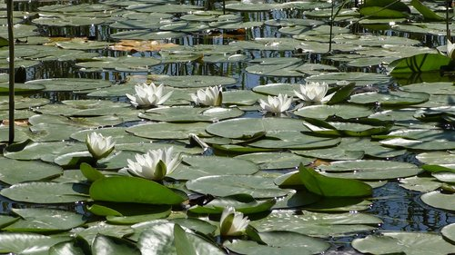 water lily  roses  pond