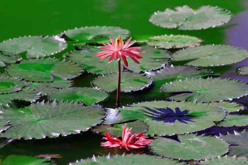 water lily  flower  sheet