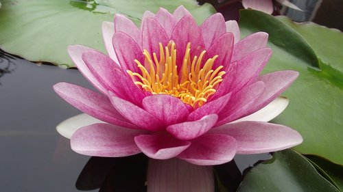 water lily  pink water lily  pond plants