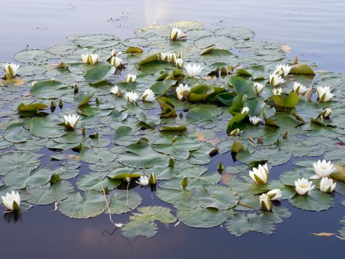 water lily nuphar blossom