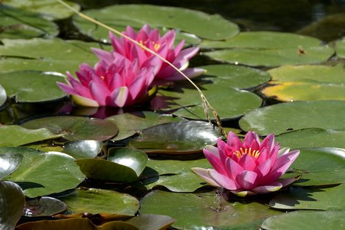 water lily  nature  pond