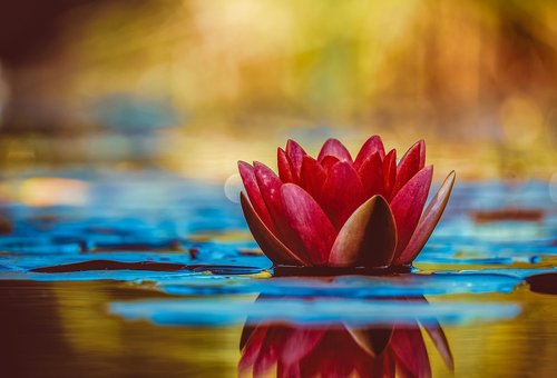 water lily  aquatic plant  flower