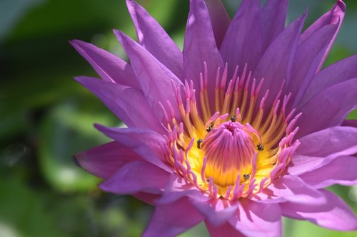 water lily  water lily pollinated  plant