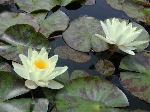 water lily lily pad water