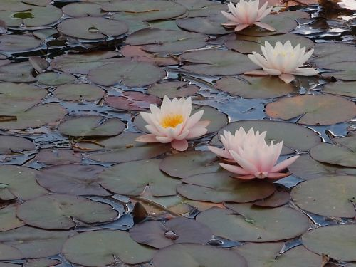 water lily pond plant flower
