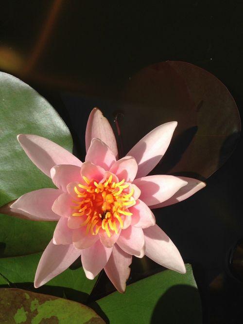 vandens lelija,augalas,gėlė,gamta,teichplanze