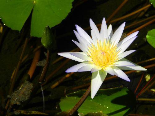 vandens lelija,balta,gamta,tvenkinys,žiedas,vandens,žydi,egzotiškas,atogrąžų
