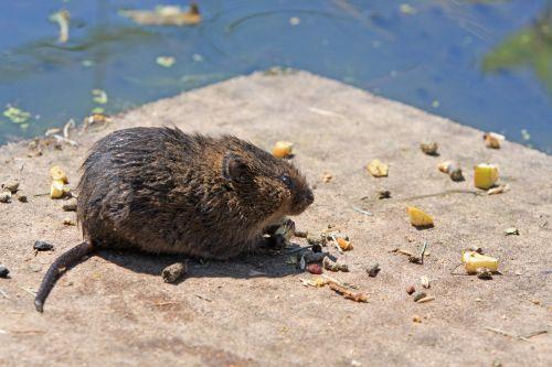 Water Rat