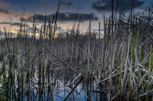 water reed reeds lake pond