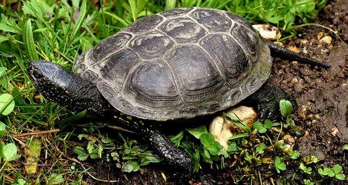 water turtle  animal  panzer