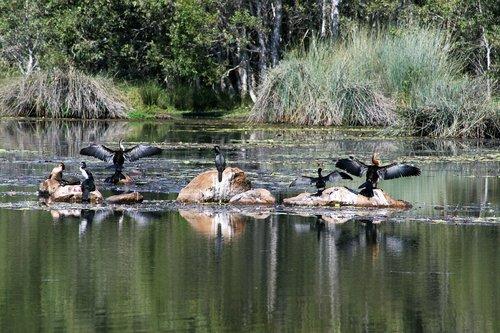 waterbirds  water  bird