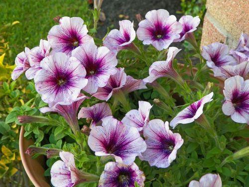 watercolor purple hibiscus purple flowers