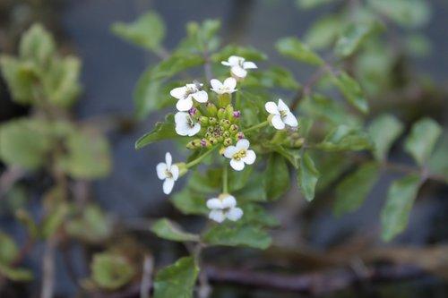 watercress  nasturtium officinale  cruciferous