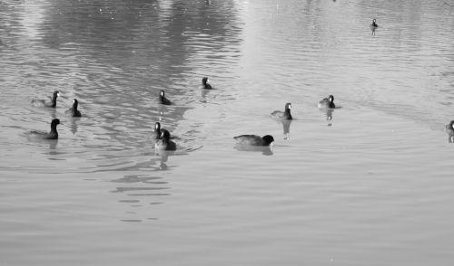 Waterfowl 20