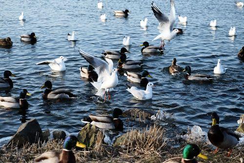 waterfowl feed water
