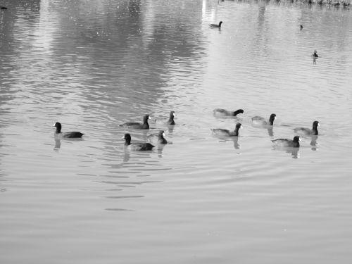 Waterfowl 21