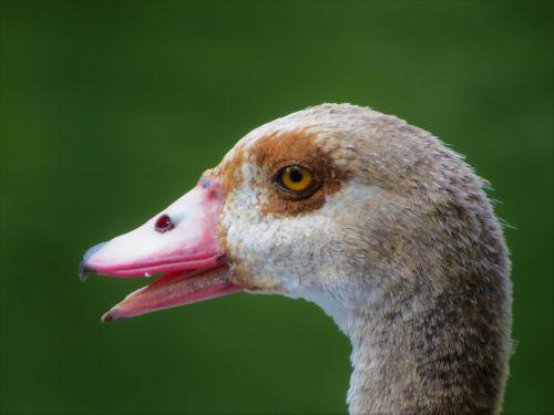 waterfowl close up wildlife
