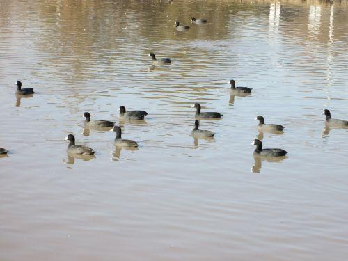 Waterfowl 30