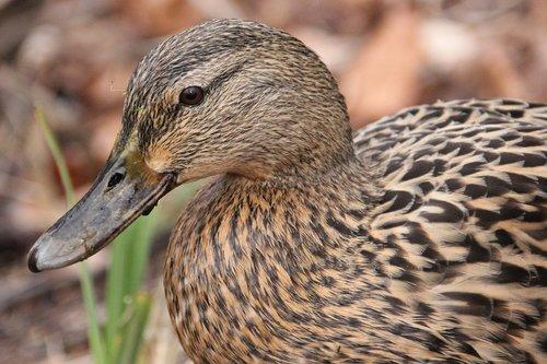 waterfowl  duck  water
