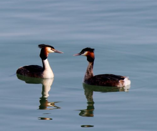 waterfowl great crested grebe pair