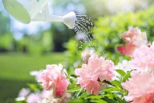 watering flowers peonies