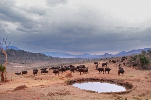 watering hole buffalo animals