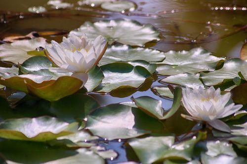 waterlilies spiritual pond