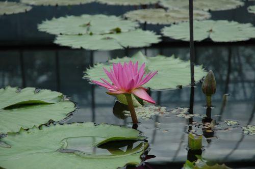 waterlily flower pond