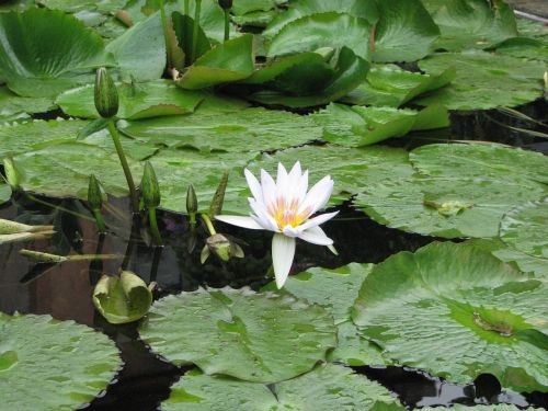 waterlily lily pond leaves
