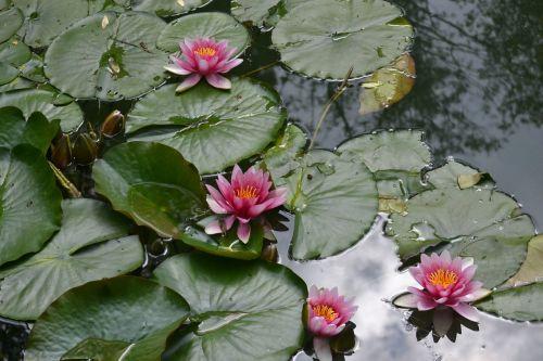 waterlily flower water